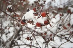 Wild rose fruit in the snow royalty free stock photo