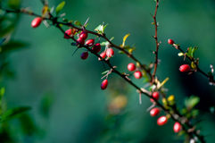 Wild rose fruits on a branch. In a public park, macro Stock Images