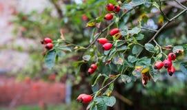 Wild rose fruits