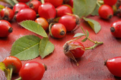 Wild rose fruits Royalty Free Stock Images