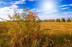 Wild rose and fun sun by autumn. Stock Photos