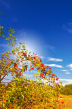 Wild rose and fun sun by autumn. Stock Images