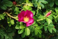 Wild rose in the garden, Scotland Stock Image
