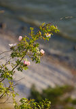Wild rose.GN. Wild roses growing on a cliff with ocean and beach in the background.GN royalty free stock photography