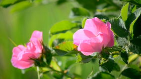 Wild rose. stock footage
