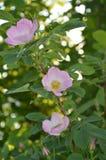 Wild rose. On greenery background Stock Image