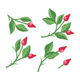 Wild Rose Hip with Berries Isolated. Briar Twig. Wild rose hip with berries isolated on white background. Briar twig. Dog rose berries. Stylized branch of red Royalty Free Stock Photo