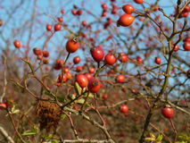 Wild rose hip Rosa canina plant. Red rosehips in nature. Royalty Free Stock Photos