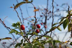 Wild rose hip shrub in nature, Fructus cynosbati. Autu, autunm Stock Image