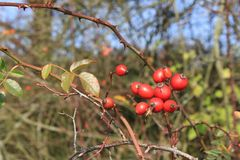 Wild rose hip shrub in nature, Fructus cynosbati. Autu, autunm Royalty Free Stock Photography