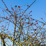 Wild rose hip shrub in winter Royalty Free Stock Photography