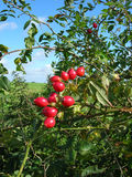 Wild rose hips. Ruby red wild rose hips in english hedgerow Stock Images
