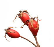 Wild rose hips Stock Image