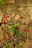 Wild rose hips Royalty Free Stock Photos