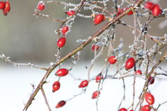 Wild rose hips. (Rosa canina) and frost Royalty Free Stock Photos