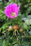 Wild rose and Hips. Royalty Free Stock Photo