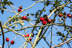 Wild rose hips in nature, seasonal natural scene Stock Photography