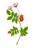 Wild Rose illustration. Beautiful fresh realistic Wild Rose illustration royalty free illustration