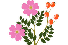Wild Rose - illustration Royalty Free Stock Images