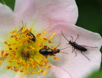 Wild Rose And Insects Stock Photos
