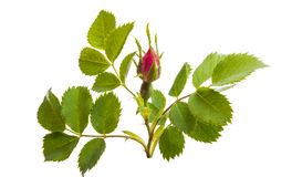 wild rose isolated stock photography