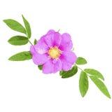 Wild rose isolated on white background Royalty Free Stock Images