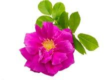 Wild rose isolated on white stock photo