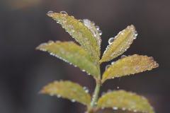 Wild rose leaf Stock Image