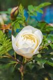 Wild rose macro Royalty Free Stock Photos