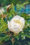 Wild rose macro Stock Photography