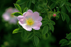 Wild rose Royalty Free Stock Images