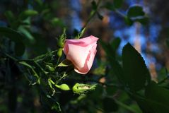Free Wild Rose Pink Bud On The Soft Dark Green Leaves And Blue Sky Royalty Free Stock Photography - 137246237