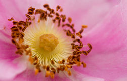Wild rose Royalty Free Stock Photo