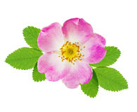 Wild rose Stock Image
