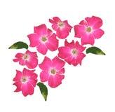 Wild rose stock illustration