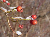 Wild rose red berry bush and berries in winter. Red rosehips in nature. Rose hip Rosa canina pla Stock Image