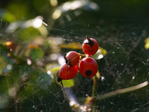 Wild Rose. Red rosehips in the autumn sun royalty free stock photos