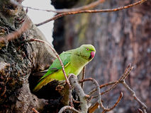 Wild Rose-ringed Parakeet Psittacula kramer London. Bird sitting by nest, in winter. These parakeets are believed to be descended from pet birds imported, but royalty free stock photo