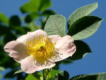 Wild rose (Rosa canina) Royalty Free Stock Photography