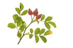 Wild rose (Rosa canina) Royalty Free Stock Image