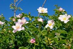 Wild rose (Rosa Canina) bush. Stock Photo