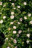 Wild rose (Rosa Canina) bush. Royalty Free Stock Image