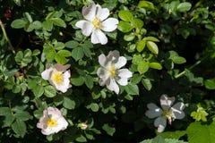 Wild rose Rosa Canina bush. Royalty Free Stock Photo