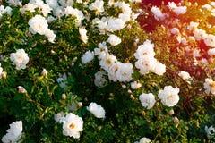Free Wild Rose, Rosa Canina, Dog Rose White Flowers Bush On Sunset Light Royalty Free Stock Photo - 171913535
