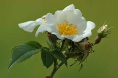 Wild rose (Rosa canina). On green background Royalty Free Stock Image