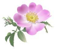 Wild rose - Rosa canina. Stock Image