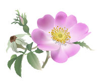 Wild rose - Rosa canina Royalty Free Stock Images