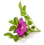 Wild rose. (Rosa canina) isolated on white background Royalty Free Stock Photos