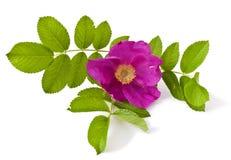 Wild rose (Rosa canina) Stock Image