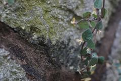 Wild rose seedlings on the rocks. ,The tenacious vitality Royalty Free Stock Photography